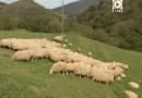 Bidarray - Les Brebis de l'automne - Euskadi Surf TV
